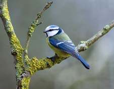 Blue Tit on branch with moss