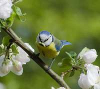 Blue Tit with larvae from apple blossom