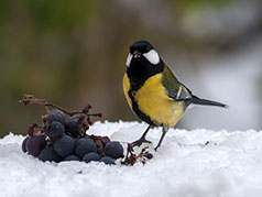 Great Tit in snow with grapes