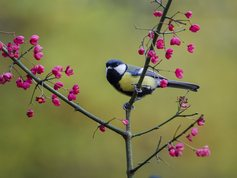 Great tit on spindle tree branch in autumn