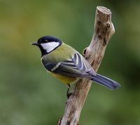 Great Tit in early autumn colors
