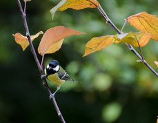 Great Tit in fall
