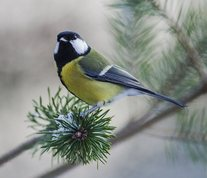 Great tit in pine tree