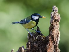 Great Tit with mealworm