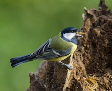 Great Tit swallowing mealworm
