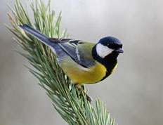 Great Tit in pine, December 2013