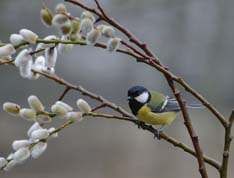 Great Tit on willow in the spring