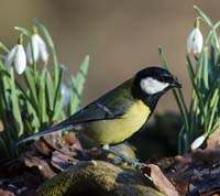 Great Tit in spring 2014 with snowdrops