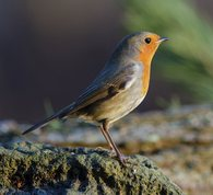 Robin on stone