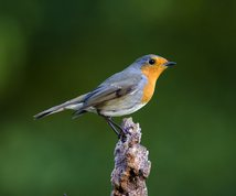 Robin in autumn