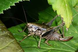 Pholidoptera griseoaptera - Dark bush-cricket