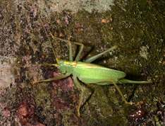 Meconema thalassinum - Oak Bush-Cricket (Drumming Katydid)