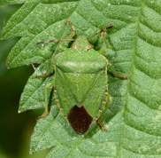 Palomena prasina - Green shield bug