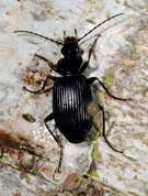 Carabidae - Pterostichus niger - Ground beetle