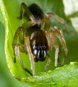 Clubiona reclusa - Common sac-spider