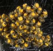 Araneus diadematus - cross spider