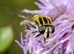 Hoverfly, The footballer