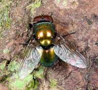 Lucilia caesar - Common greenbottle fly