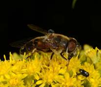 Eristalis pertinax - Tapered Drone Fly