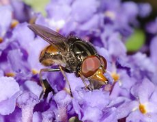 Common Snout-hoverfly - Rhingia campestris