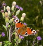 European peacock butterfly on thistle
