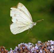 Pieris napi - Green-veined White