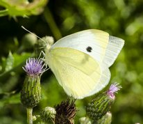Pieris rapae - Small White