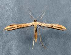 Emmelina monodactyla - Morning-glory Plume Moth