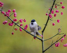 Marsh Tit on Spindle tree in autumn