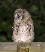 Strix aluco - Young Tawny owl