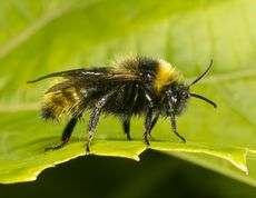 Agersnyltehumle - Bombus campestris
