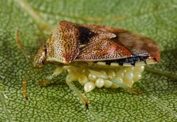 Elasmucha grisea - Parent bug with eggs