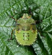 Green shield bug nymph