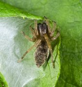 Common sac-spider