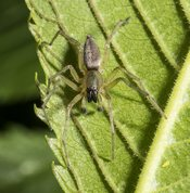 Common sac-spider male