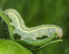 Bright line brown eye moth larvae